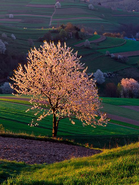 Cherry Tree Poetry