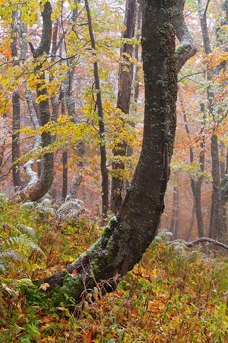 Primeval beech forest in Velka Fatra National Park
