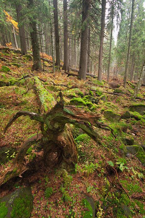 Primeval Forest  Zadná Poľana