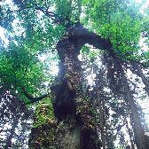 Random landscape photo - Old Maple Tree