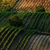 Random landscape photo - Vineyards of P�lava